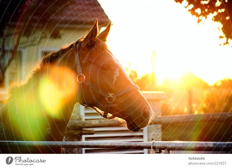 Pferd im Gegenlicht ruhig Sonne Reitsport Haus stehen Weide blenden Blendenfleck Blendeneffekt Halfter Pferdekopf Zaun Erholung Zufriedenheit Sonnenbad Farbfoto