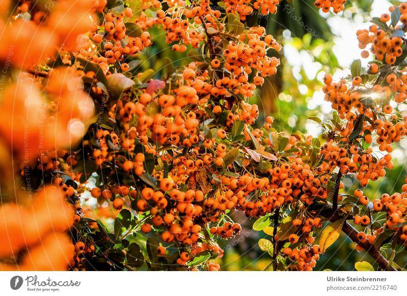 Wärme tanken 2 Umwelt Natur Pflanze Sommer Schönes Wetter Sträucher Wildpflanze Feuerdorn Rosengewächse Beerensträucher Garten Park Sardinien hängen leuchten