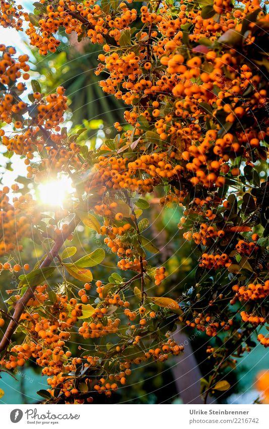 Wärme tanken 1 Umwelt Natur Pflanze Sonnenaufgang Sonnenuntergang Sommer Schönes Wetter Sträucher Wildpflanze Feuerdorn Rosengewächse Beerensträucher Garten