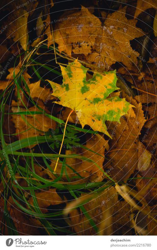 Entdeckt, ein braunes Herbstblatt , grün umrandet liegt auf dem Waldboden auf lauter ganz braunen Blättern. Ausflug Natur Schönes Wetter Blatt Bayern