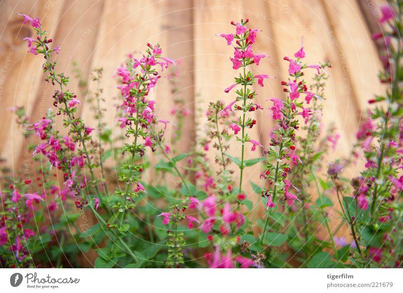 Blume Pflanze rot Garten Holz Linie rosa Kräuter & Gewürze Stengel Zaun vertikal Holzplatte Salbei