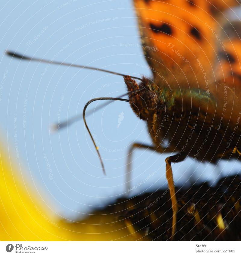 Falterdasein Natur blau Sommer Tier gelb klein braun Beine orange sitzen Flügel Lebewesen Fell Insekt nah Schmetterling