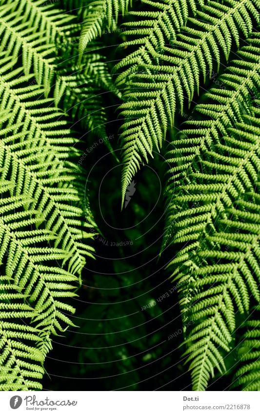 Farn Natur Pflanze Blatt Grünpflanze grün Farnblatt Wald Farbfoto Außenaufnahme Kontrast