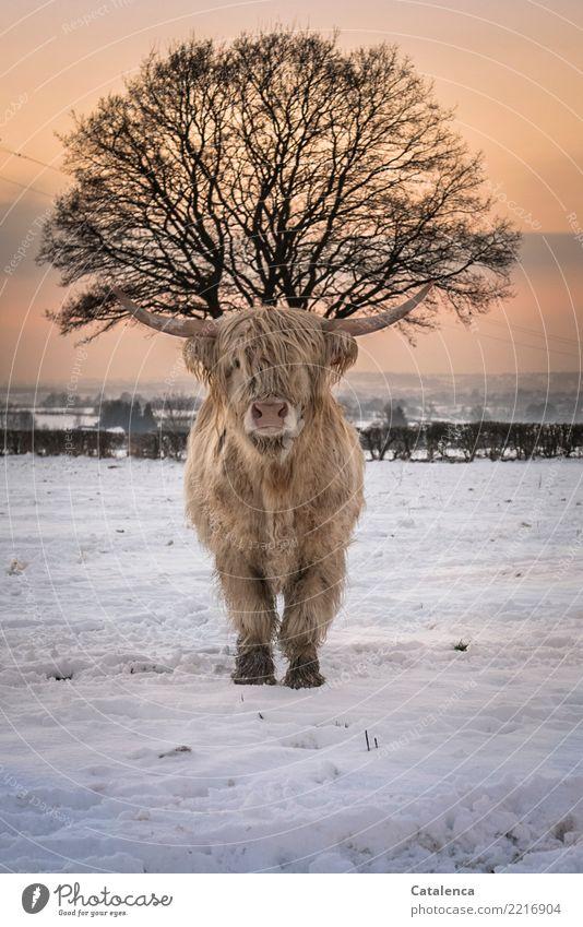 Kopfschmuck Natur Himmel Horizont Winter Klima Schönes Wetter Schnee Baum Sträucher Hecke Wiese Feld Rind Higlandcattle Kuh 1 Tier beobachten stehen kalt