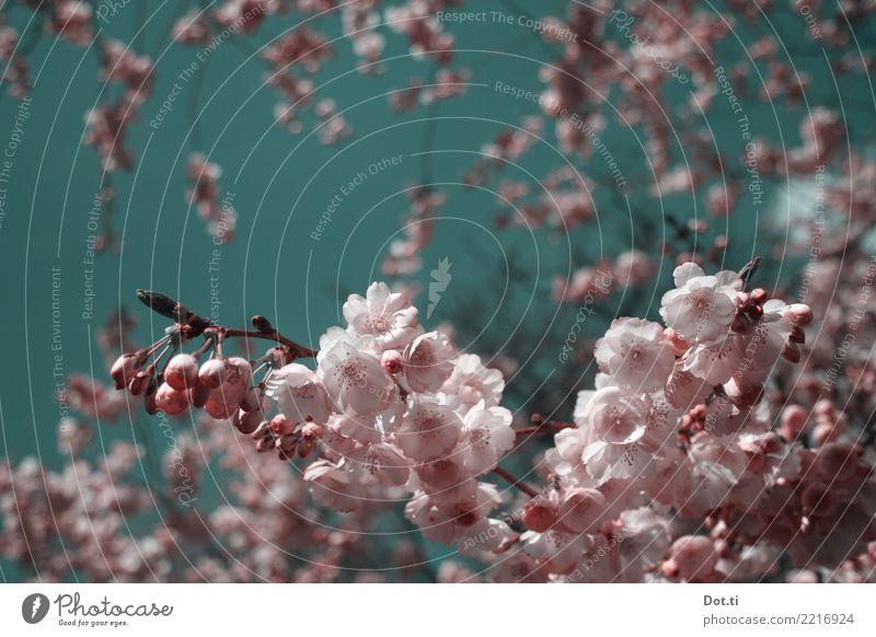 en fleurs Natur Pflanze Himmel Wolkenloser Himmel Frühling Schönes Wetter Baum Blüte rosa Frühlingsgefühle Idylle rein Kirschblüten Kirschbaum Blütenknospen