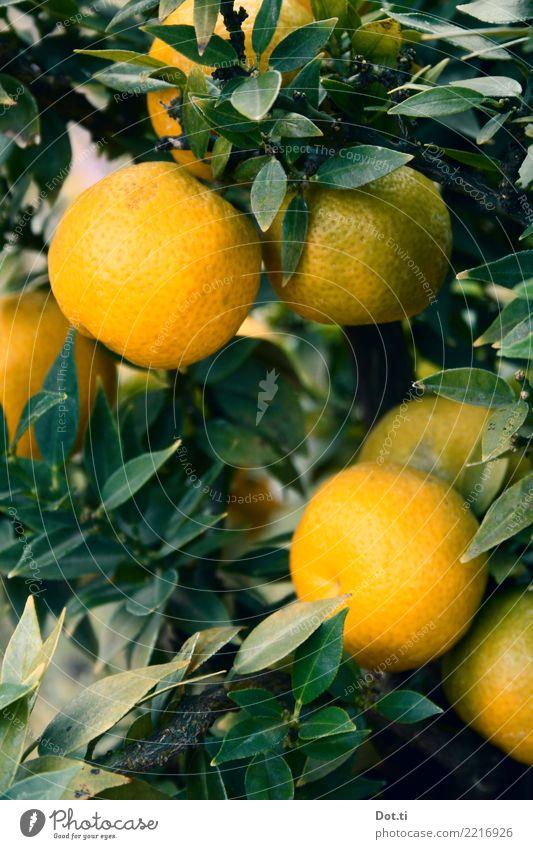 Mandarinenbaum Frucht Natur Pflanze Baum Blatt Nutzpflanze frisch Gesundheit natürlich grün orange Zitrusfrüchte Südfrüchte reif mediterran Farbfoto