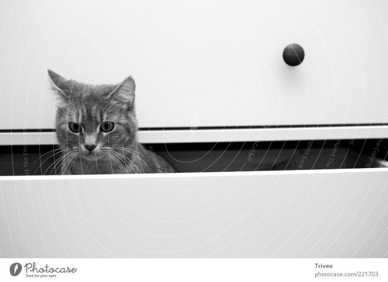 unterste Schublade weiß schwarz Tier grau Katze hell Wohnung elegant sitzen authentisch Häusliches Leben einfach Tiergesicht niedlich Neugier beobachten