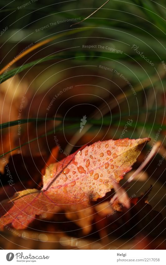 nach dem Regen Umwelt Natur Pflanze Wassertropfen Sonnenlicht Herbst Gras Blatt Ahornblatt Garten leuchten liegen dehydrieren authentisch einfach einzigartig