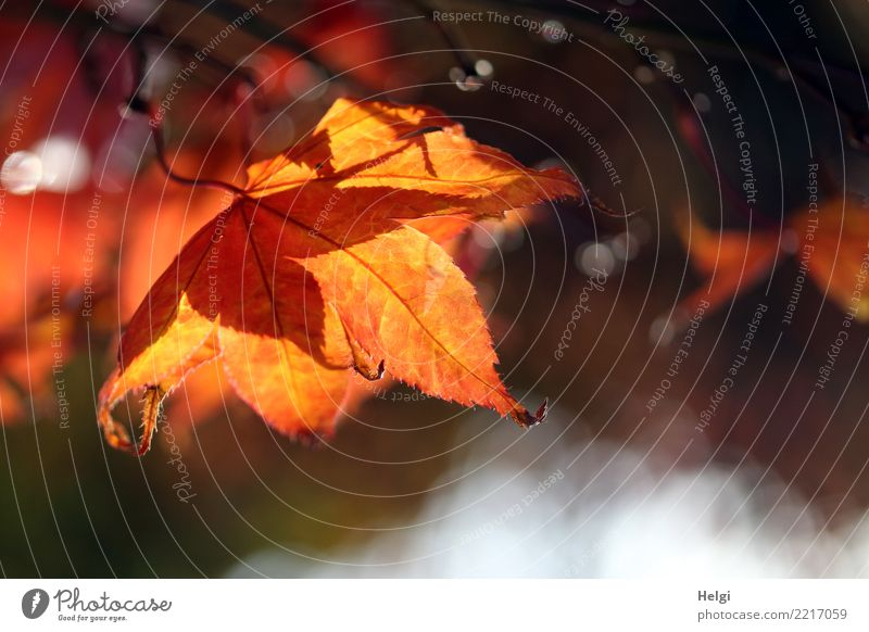herbstlich(t) Umwelt Natur Pflanze Herbst Schönes Wetter Baum Blatt Blattadern Garten hängen leuchten dehydrieren natürlich braun gelb grau orange Stimmung