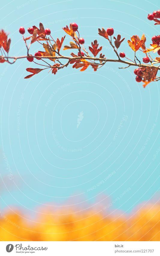 Beerenranke auf Cornflakes Natur Himmel blau Pflanze Sommer Blatt gelb Herbst Zufriedenheit braun Frucht Sträucher Wandel & Veränderung Klima Schönes Wetter Zweig