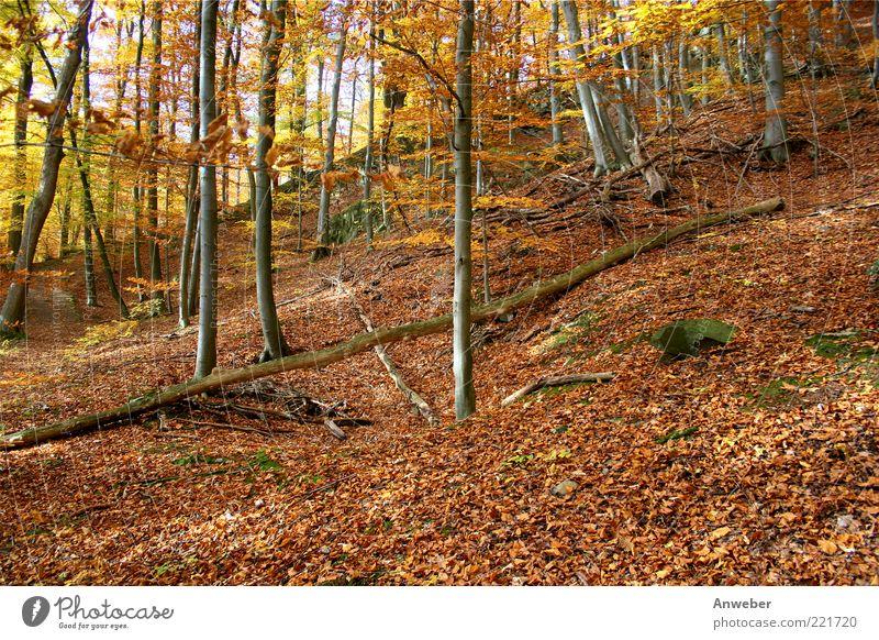 Herbstwald Natur schön Baum Pflanze ruhig Blatt Einsamkeit gelb Wald Herbst Gefühle Holz Landschaft Stimmung braun Deutschland