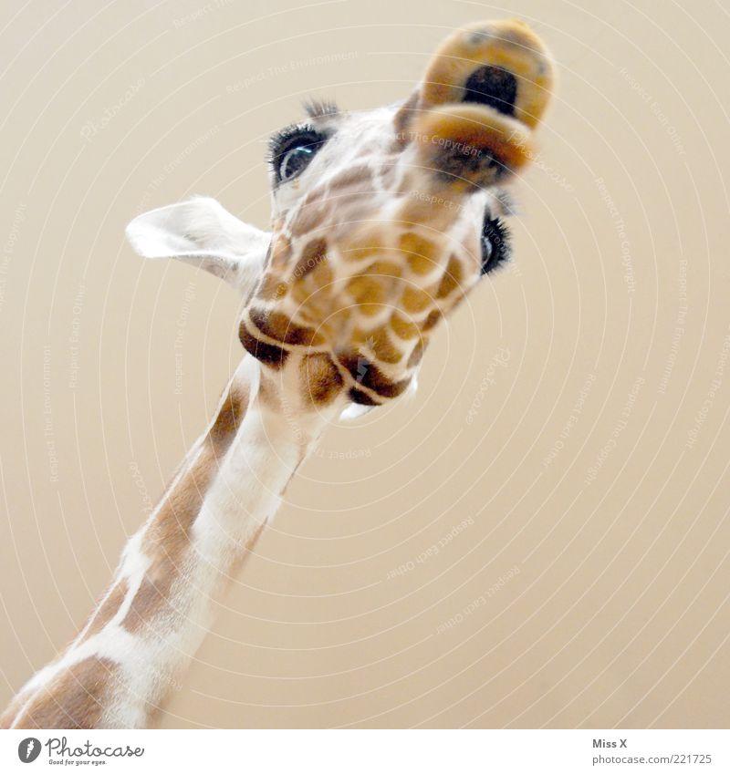 Bussi Tier Wildtier 1 exotisch lustig Giraffe Maul Hals Auge Ohr Fell Kopf Textfreiraum unten groß Farbfoto Nahaufnahme Menschenleer Hintergrund neutral