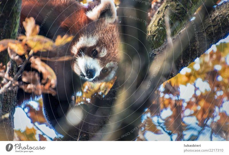 Roter Panda klettert auf Baum roter panda niedlich Klettern Herbst Blatt Tier Ast Fell schön süß Säugetier Zoo klein Natur Nahaufnahme Zürich gefährlich
