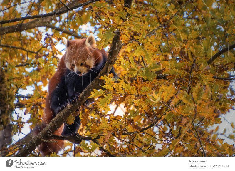 Roter Panda auf Baum zeigt Zunge roter panda Klettern Tier Säugetier Natur niedlich gefährlich Zoo Zürich Kanton Zürich Herbst Blatt Ast weisse schnauze Fell