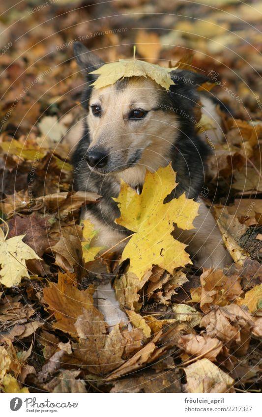 Hund im Laub Natur Herbst Blatt Ahornblatt Park Wald Menschenleer Tier Haustier Tiergesicht Fell 1 kuschlig lustig natürlich niedlich weich braun gelb grau