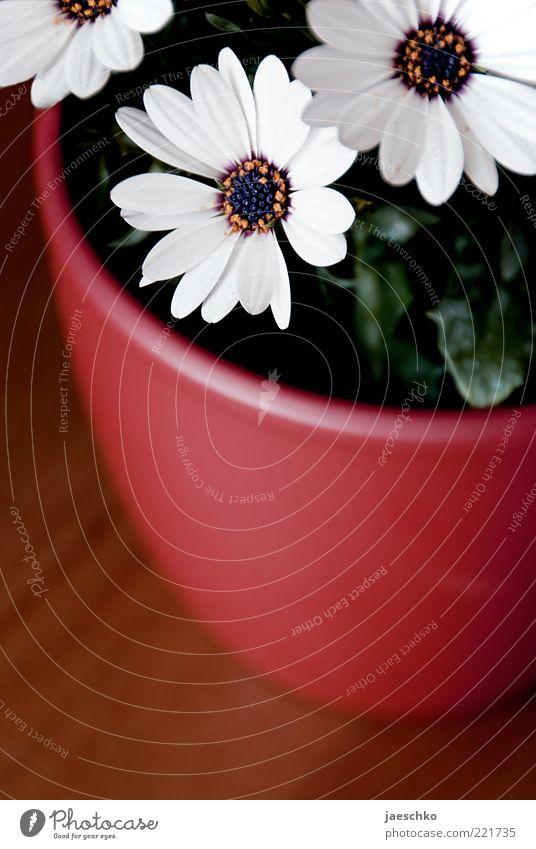 Blume, Topf. weiß Pflanze rot Blatt Blüte Tisch einfach Dekoration & Verzierung positiv Gänseblümchen Blütenblatt Blumentopf Glückwünsche Zimmerpflanze