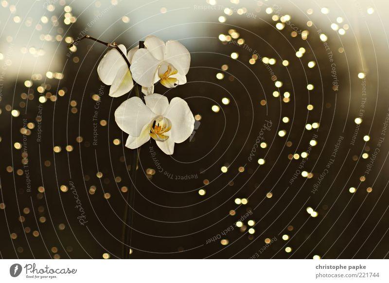Blühende Aussichten Stil exotisch Natur Pflanze Sonnenlicht Blume Orchidee Blüte Topfpflanze leuchten außergewöhnlich Kitsch schön gelb gold Vergänglichkeit