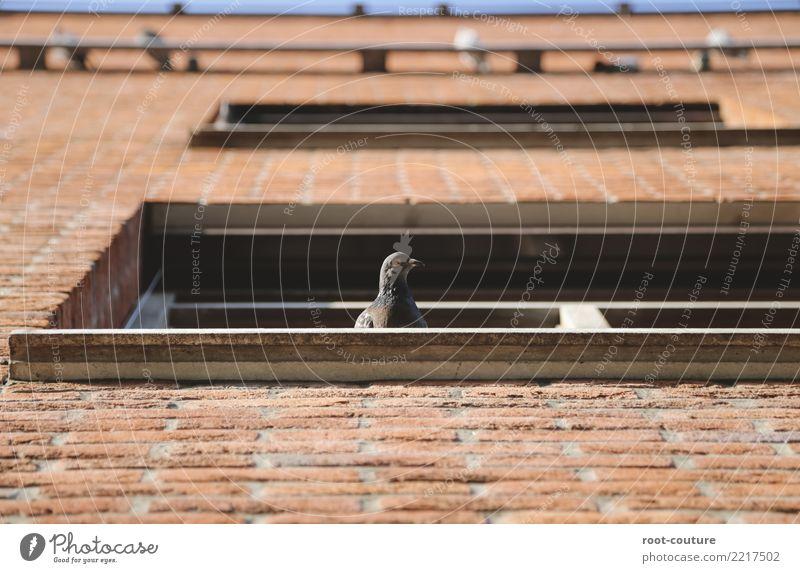 Taube Nuss Natur Haus Mauer Wand Tier Vogel Tiergesicht 1 Tiergruppe Stein Backstein beobachten sitzen hoch oben wild braun Frieden Sicherheit Kontrolle Fenster