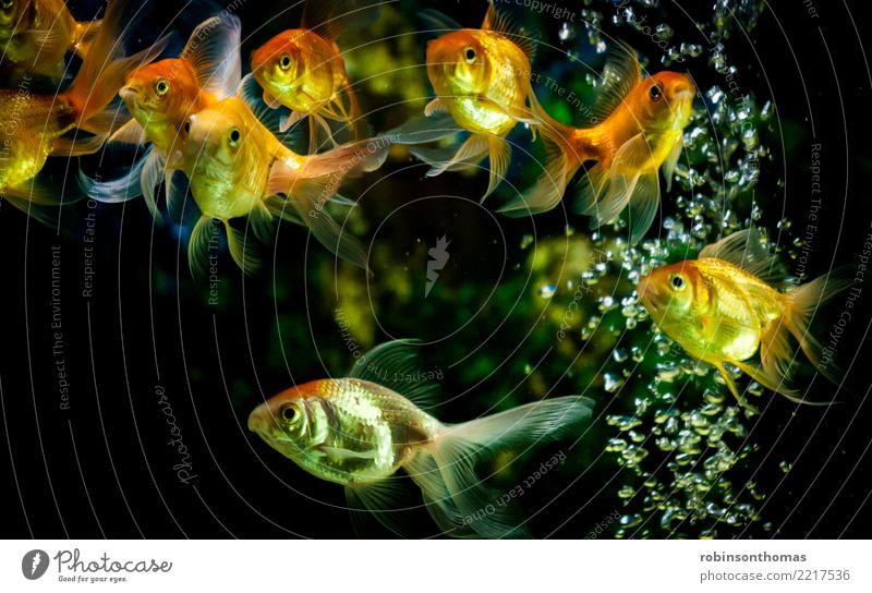 Goldfische, die im Aquarium mit Wasserblasen schwimmen Fisch gold Natur Unterwasseraufnahme Hintergrundbild Tier Bewegung Haustier orange aquatisch Tank grün