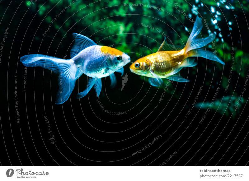 Zwei Goldfische vertraulich im Aquarium Haustier Fisch 2 Tier Schwimmen & Baden Freundlichkeit Fröhlichkeit Zusammensein Glück blau grün orange schwarz weiß
