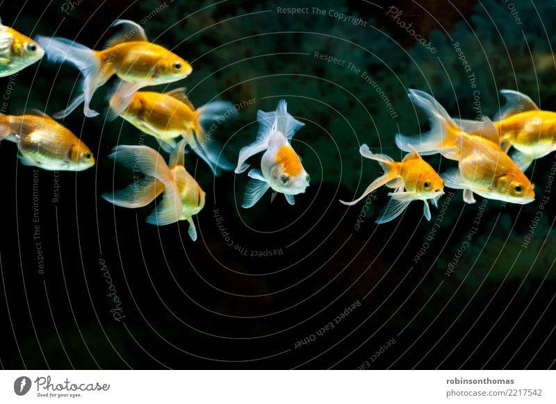 Goldfische, die im Süßwasseraquarium schwimmen schön Natur Pflanze Tier Haustier Aquarium Bewegung gold grün rot weiß Farbe aquatisch Hintergrund