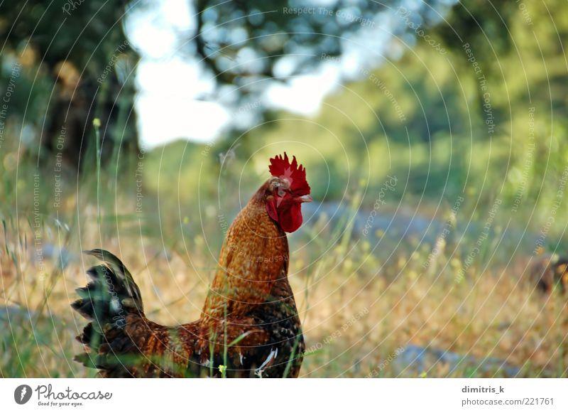 Natur grün rot Pflanze Tier Umwelt Vogel braun natürlich wild frei Feder Flügel Ackerbau Schnabel Nutztier