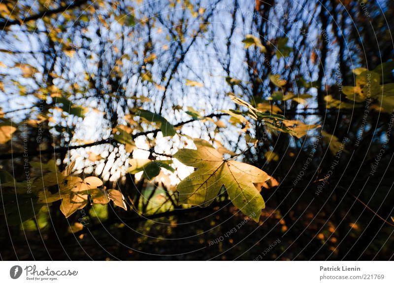 Herbstwäldchen Umwelt Natur Pflanze Urelemente Himmel Baum Blatt Wildpflanze Wald entdecken fallen genießen schön gelb Stimmung Fröhlichkeit Ahorn Ast