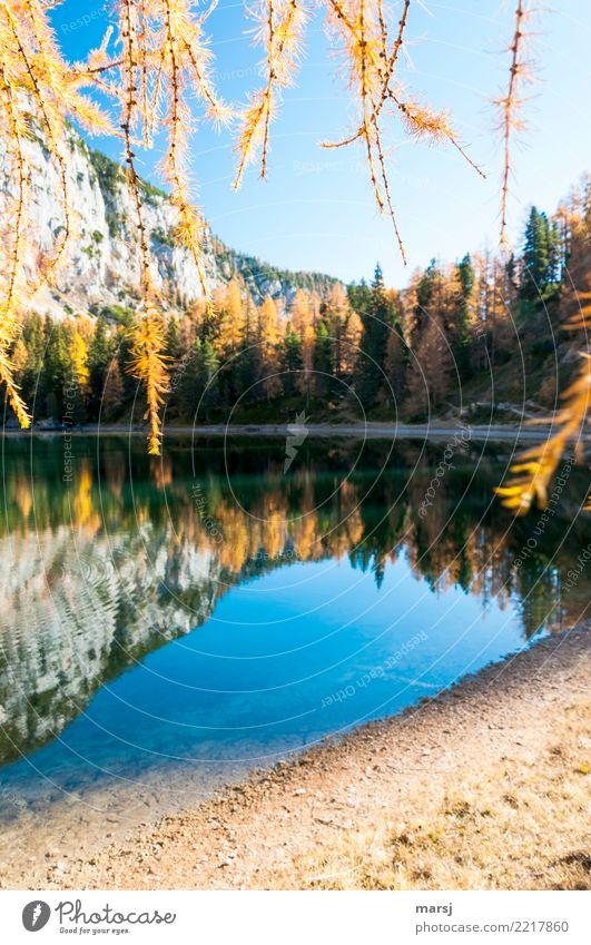 Alles Gute kommt von oben Natur Herbst Schönes Wetter Pflanze Ast Lärche See Gebirgssee Ahornsee hängen leuchten außergewöhnlich fantastisch blau demütig