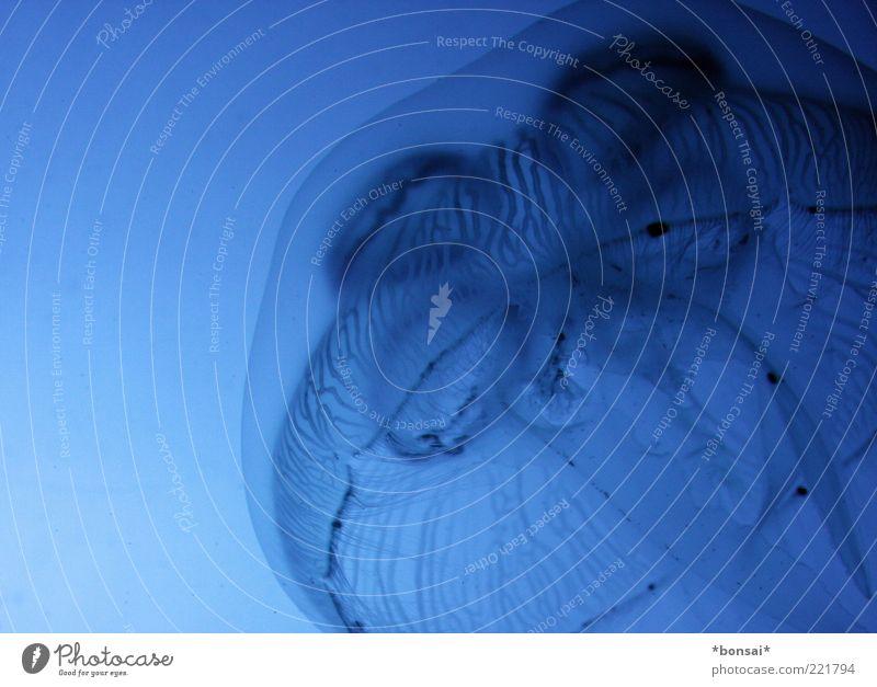 haubentaucher Wasser Qualle Aquarium 1 Tier Bewegung leuchten tauchen außergewöhnlich elegant Flüssigkeit nass natürlich blau ruhig geheimnisvoll Leichtigkeit