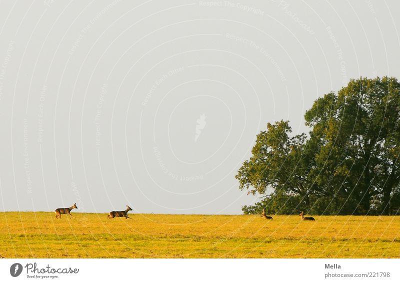 Die Kuriere des Hirschen Umwelt Natur Landschaft Tier Wiese Feld Wildtier Reh 4 Tiergruppe laufen liegen frei natürlich Zusammensein Horizont Farbfoto
