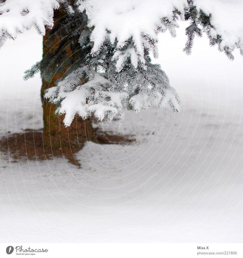A Tännschn plies Winter Eis Frost Schnee Baum frieren weiß Tanne Zweig Baumstamm Winterstimmung Farbfoto Außenaufnahme Textfreiraum rechts Textfreiraum unten 1