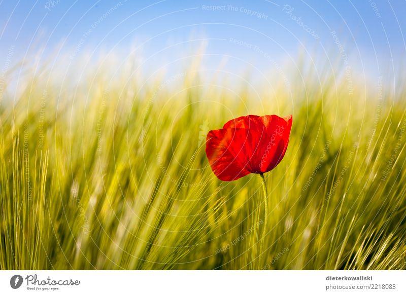Rot im Grün Umwelt Natur Landschaft Pflanze Nutzpflanze Feld schön Gefühle Freude Glück Zufriedenheit Mohn Mohnblüte Weizenfeld Haferähre Kontrast rot grün