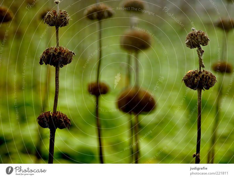 Wiese Natur grün Pflanze dunkel Blüte Gras Stimmung Umwelt Wachstum Ende Vergänglichkeit wild natürlich trocken vertrocknet