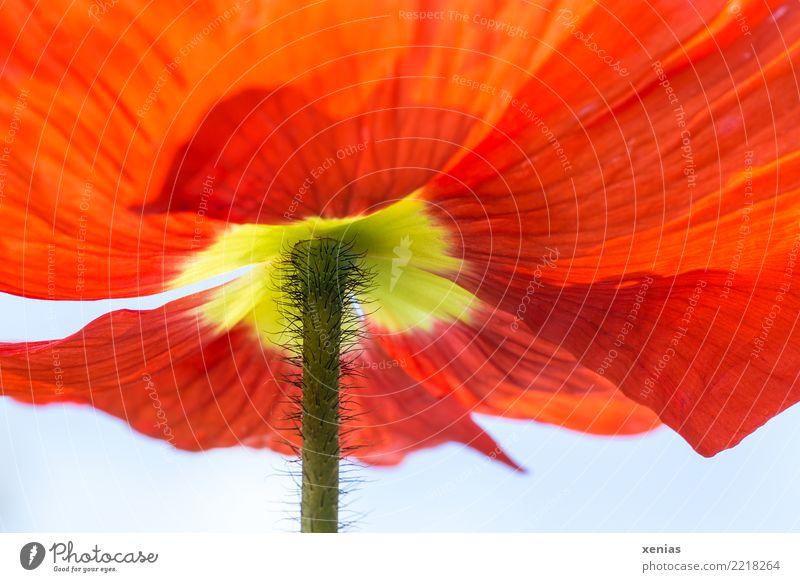 200. :-) Froschperspektive Frühling Blume Blüte Stengel Islandmohn Garten gelb grün rot Leichtigkeit haarig Blütenblatt Xenia Farbfoto Außenaufnahme