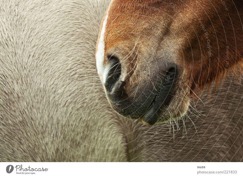 Schmunzeln Tier Fell Pferd Lächeln nah schön braun Tierliebe Ponys Nase Zärtlichkeiten Nüstern Vertrauen sanft Geruch Nasenhaar Farbfoto Gedeckte Farben
