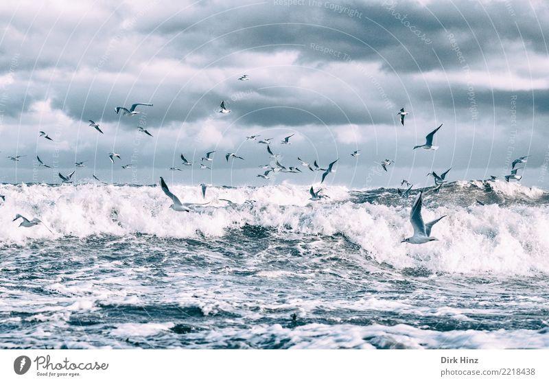 Möwen über den Ostseewellen IV Umwelt Natur Landschaft Urelemente Luft Wasser Wolken Gewitterwolken Horizont Herbst Winter schlechtes Wetter Unwetter Wellen
