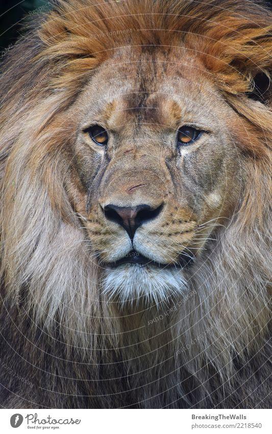 Schließen Sie herauf Porträt des männlichen Löwes Kamera betrachtend Tier Wildtier Tiergesicht Zoo Katze Raubkatze Wildkatze Säugetier 1 wild Stolz schön