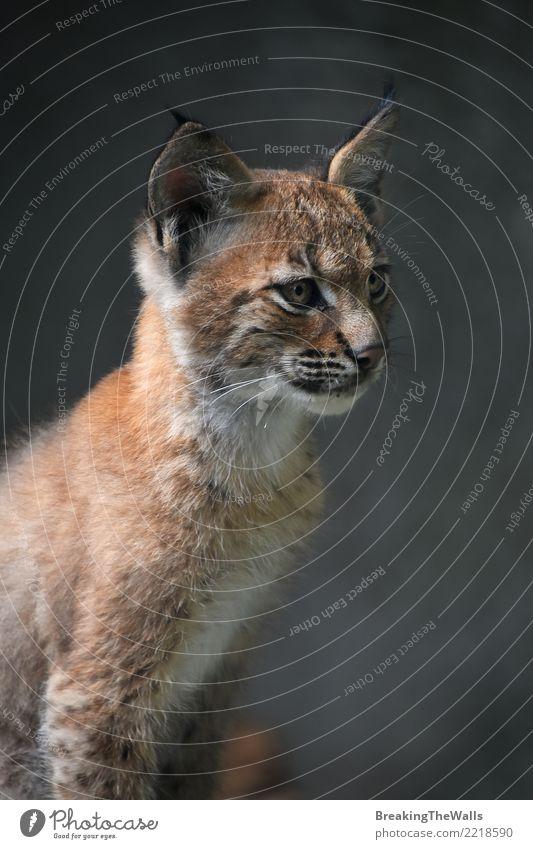 Katze Tier dunkel Tierjunges klein wild Wildtier sitzen niedlich Wachsamkeit Säugetier Zoo Tiergesicht wach Katzenbaby Fleischfresser