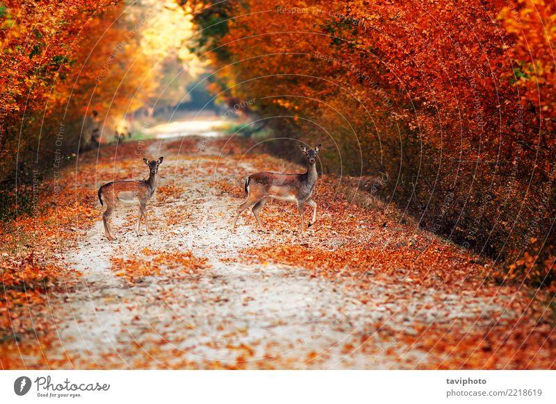 Damhirsch tut auf Landstraße im Herbst schön Jagd Frau Erwachsene Natur Landschaft Tier Baum Park Wald Straße Wege & Pfade Pelzmantel verblüht natürlich