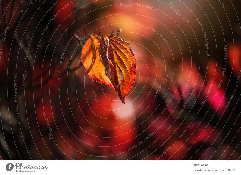 Herbstleuchten elegant Stil Umwelt Natur Schönes Wetter Pflanze Sträucher Zweige u. Äste Pflanzenteile Blatt Wald Lichterscheinung Lichtspiel Lichteinfall