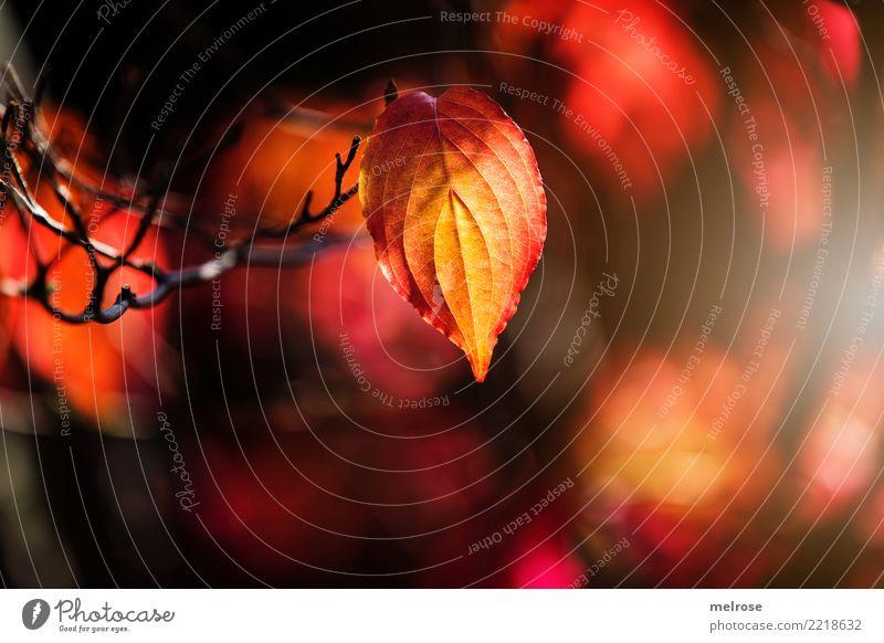 Herbstleuchten III elegant Stil Ausflug wandern Umwelt Natur Schönes Wetter Pflanze Sträucher Blatt Wildpflanze Pflanzenteile Zweige u. Äste Wald Farbe