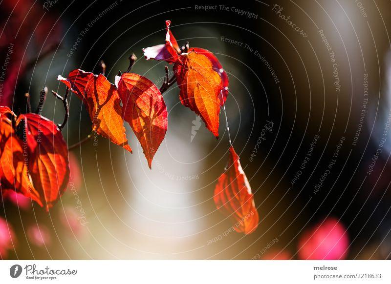 am seidenen Faden ... elegant Stil Umwelt Natur Sonne Sonnenlicht Herbst Schönes Wetter Pflanze Sträucher Blatt Wildpflanze Zweige u. Äste Wald Herbstleuchten