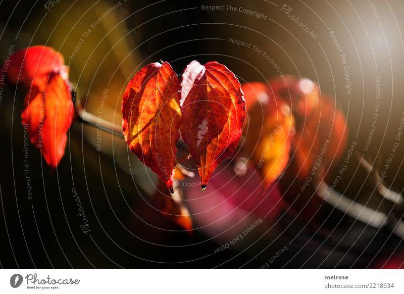 Herbstleuchten II elegant Stil Natur Sonnenlicht Schönes Wetter Pflanze Sträucher Blatt Wildpflanze Zweige u. Äste Blätter Wald Farbe knallig Unschärfe