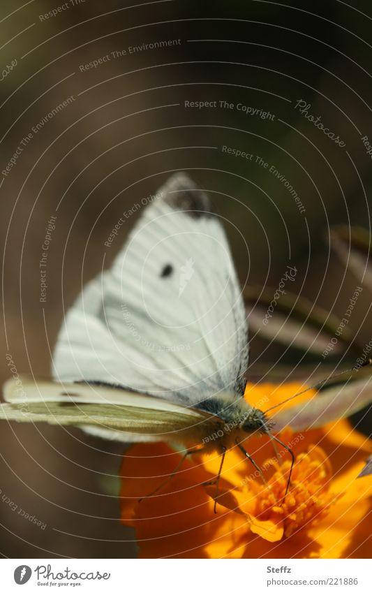 Großer Kohlweißling in der warmen Oktobersonne Natur Pflanze weiß Sommer Blume Tier Blüte Herbst braun orange Flügel Schmetterling Leichtigkeit Fühler Oktober Nahrungssuche
