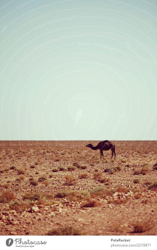 #A# Wüstentier Landschaft ästhetisch Wärme Kamel Dromedar Wüstenpflanze Klimawandel Tier Einsamkeit Marokko Farbfoto mehrfarbig Außenaufnahme Experiment