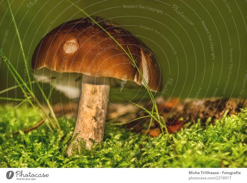 Pilz im Moos Natur Pflanze Sonne Sonnenlicht Schönes Wetter Gras Blatt Wildpflanze Pilzhut Wald leuchten Wachstum klein nah natürlich braun gelb grün orange