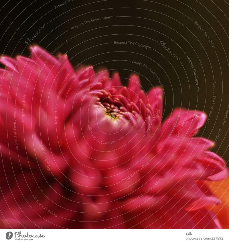 Flamenco! Natur Pflanze Blüte ästhetisch elegant Leben schön Vergänglichkeit Chrysantheme Blume rot Blütenblatt zart Farbfoto Nahaufnahme Menschenleer
