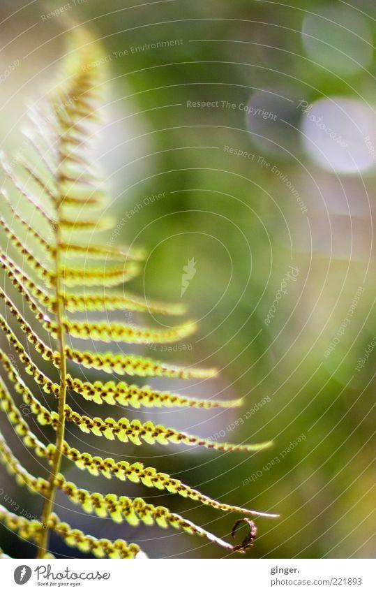 Spätsommer (Erinnerung) Natur grün Sommer Pflanze Umwelt hell Wetter Schönes Wetter Punkt leicht Leichtigkeit Farn Grünpflanze Unschärfe Farnblatt