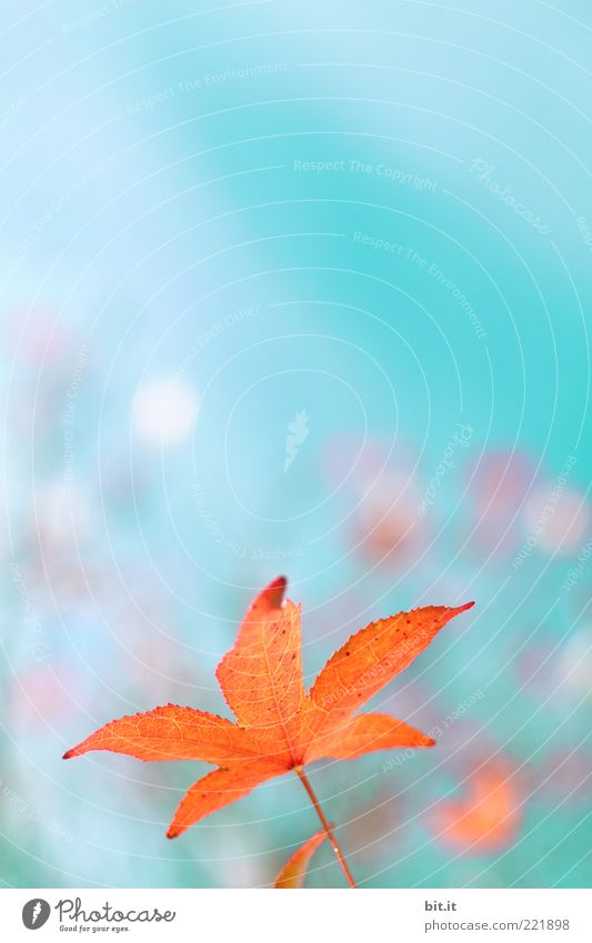 Seesterne gibt es auch am Himmel Natur Pflanze Herbst Klima Blatt fantastisch glänzend Kitsch trashig blau rot Wachstum Wandel & Veränderung herbstlich