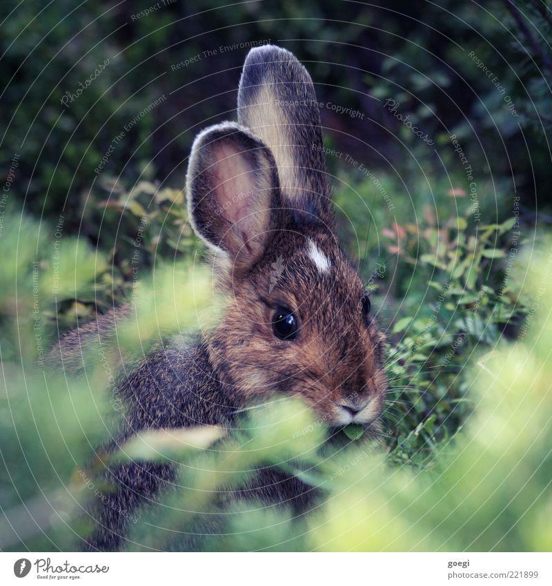 what's up doc? II Umwelt Natur Pflanze Tier Sträucher Wildtier Tiergesicht Fell Hase & Kaninchen 1 Fressen kuschlig wild weich braun grau grün weiß drollig